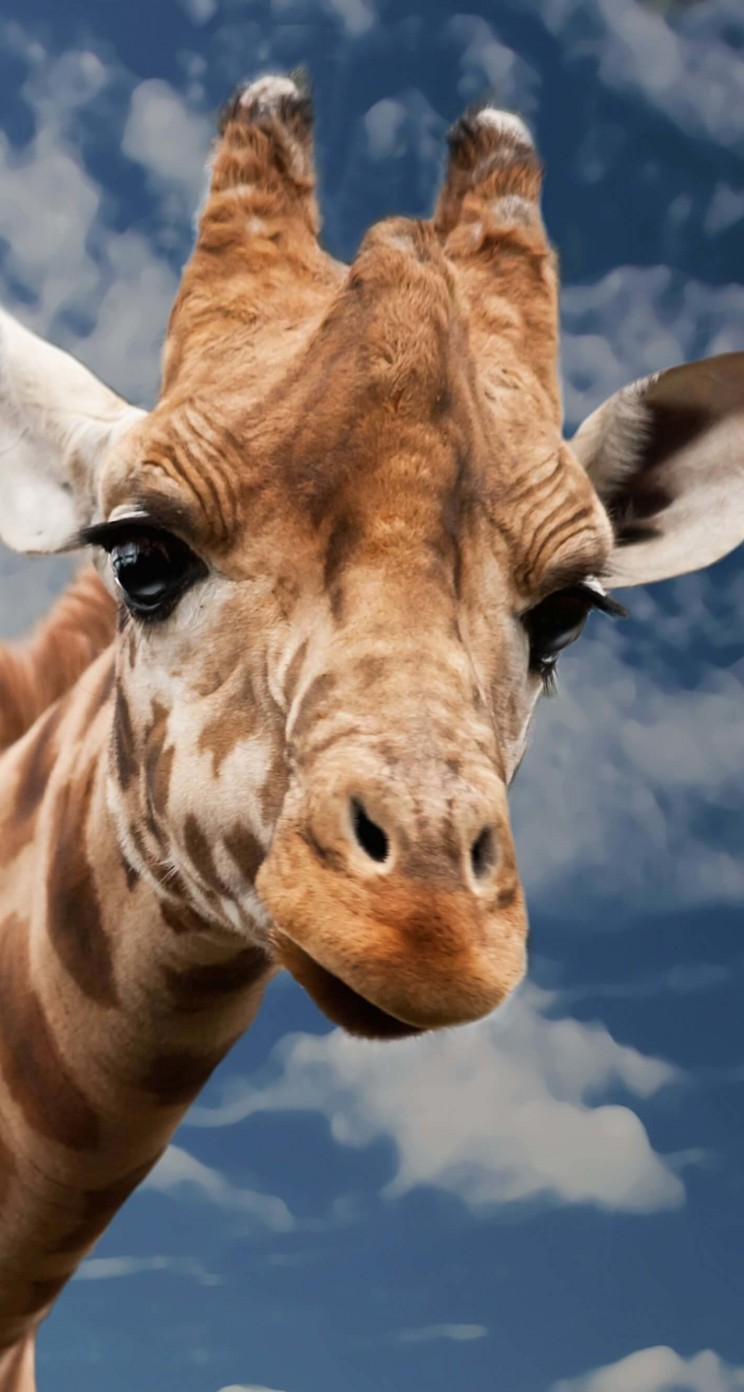 Funny Giraffe Wallpaper for Apple iPhone 5 / 5s