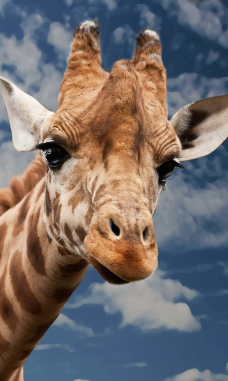 Funny Giraffe Wallpaper for LG Optimus G