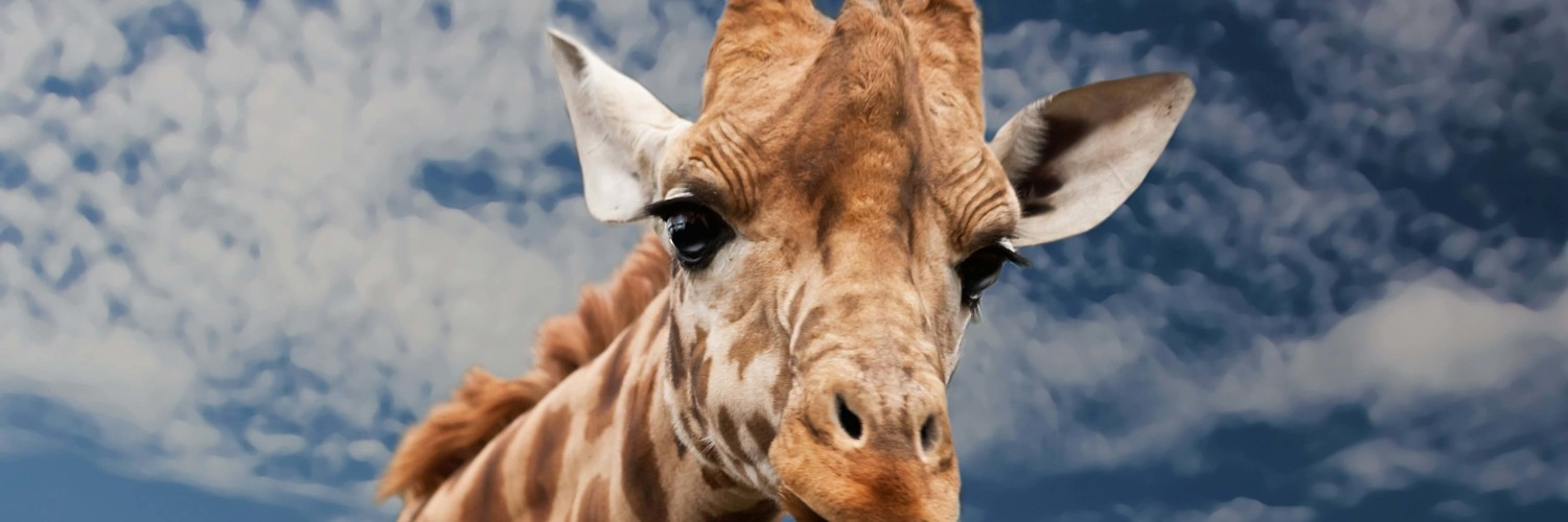 Funny Giraffe Wallpaper for Social Media Twitter Header
