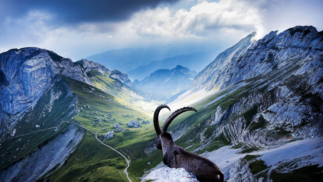 Goat at Pilatus, Switzerland Wallpaper for Desktop 1280x720