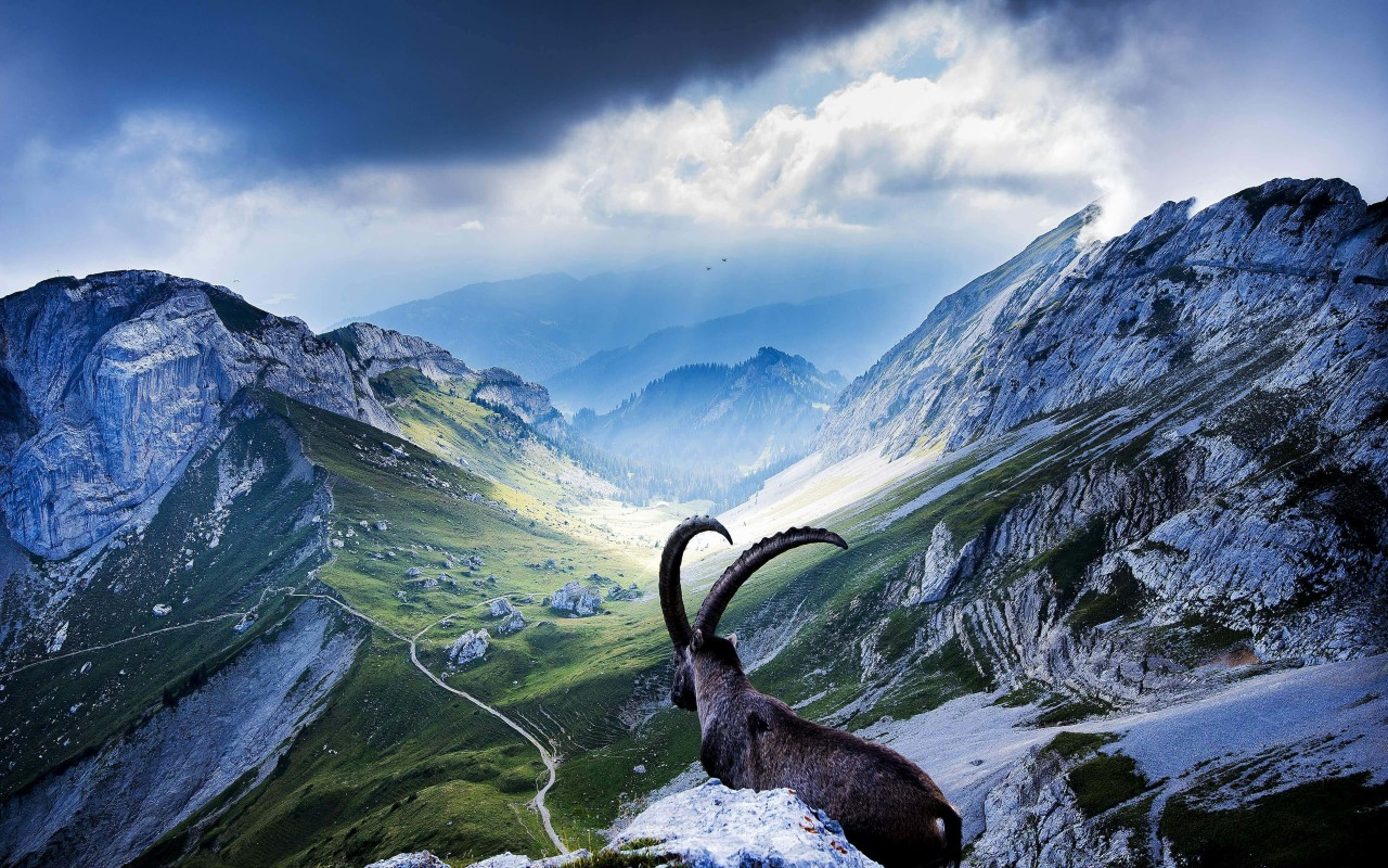 Goat at Pilatus, Switzerland Wallpaper for Desktop 1280x800