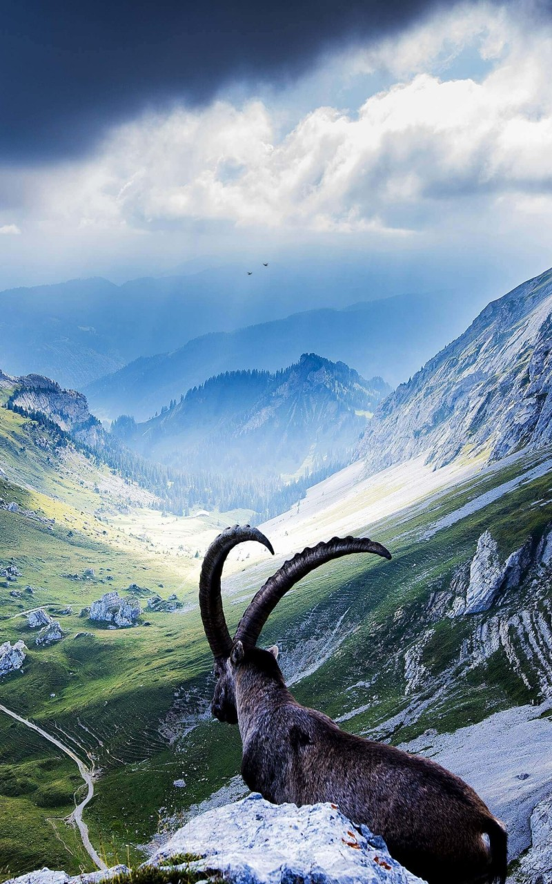 Goat at Pilatus, Switzerland Wallpaper for Amazon Kindle Fire HD