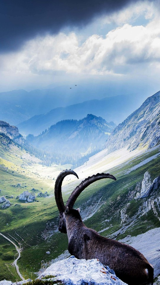 Goat at Pilatus, Switzerland Wallpaper for LG G2 mini