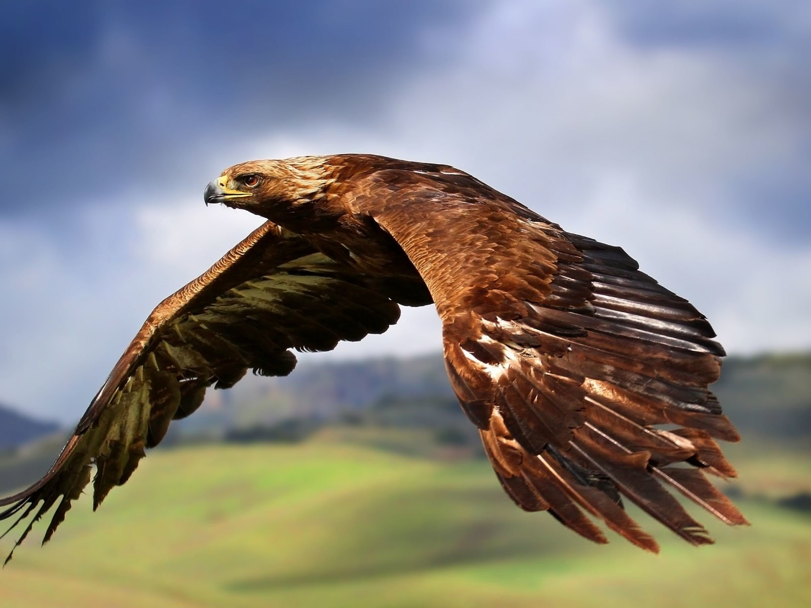 Golden Eagle Flying Wallpaper for Desktop 1600x1200