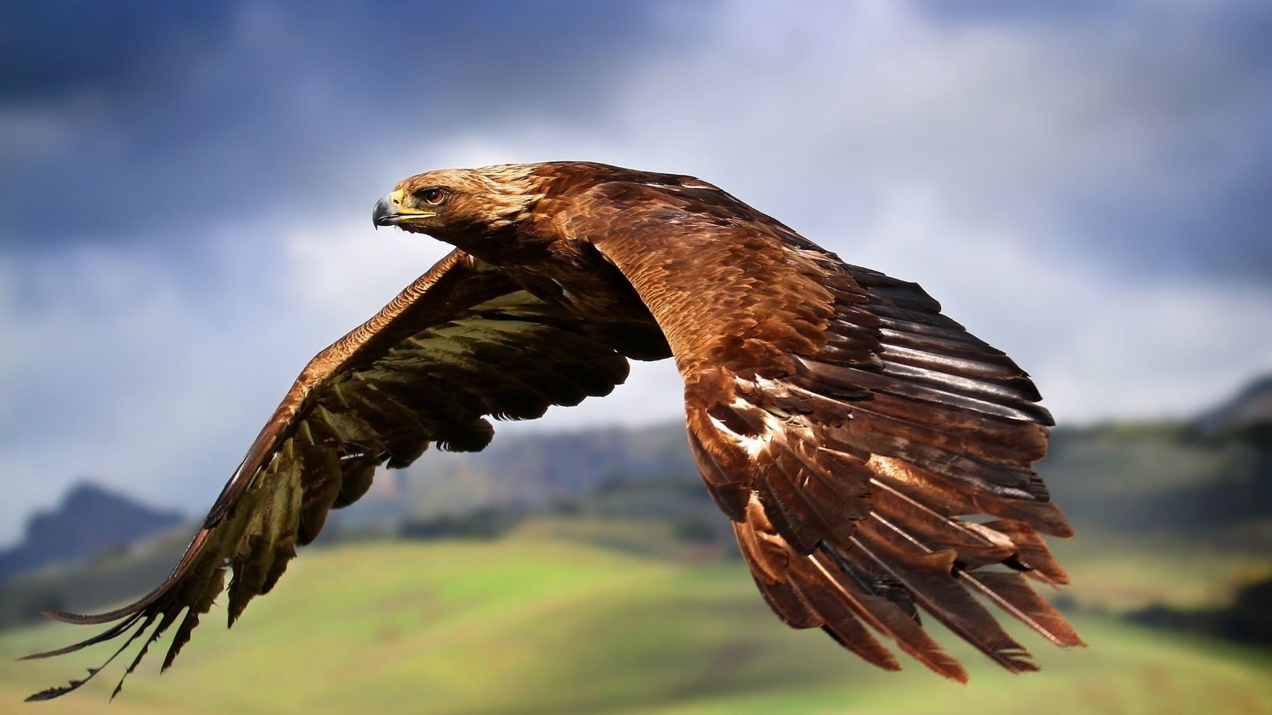 Golden Eagle Flying Wallpaper for Desktop 2560x1440