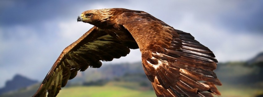 Golden Eagle Flying Wallpaper for Social Media Facebook Cover