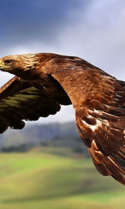 Golden Eagle Flying Wallpaper for SAMSUNG Galaxy S3 Mini
