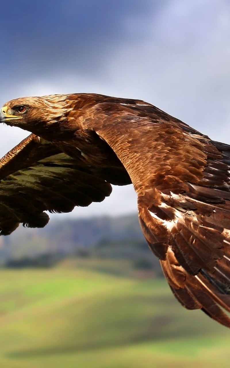 Golden Eagle Flying Wallpaper for Amazon Kindle Fire HD