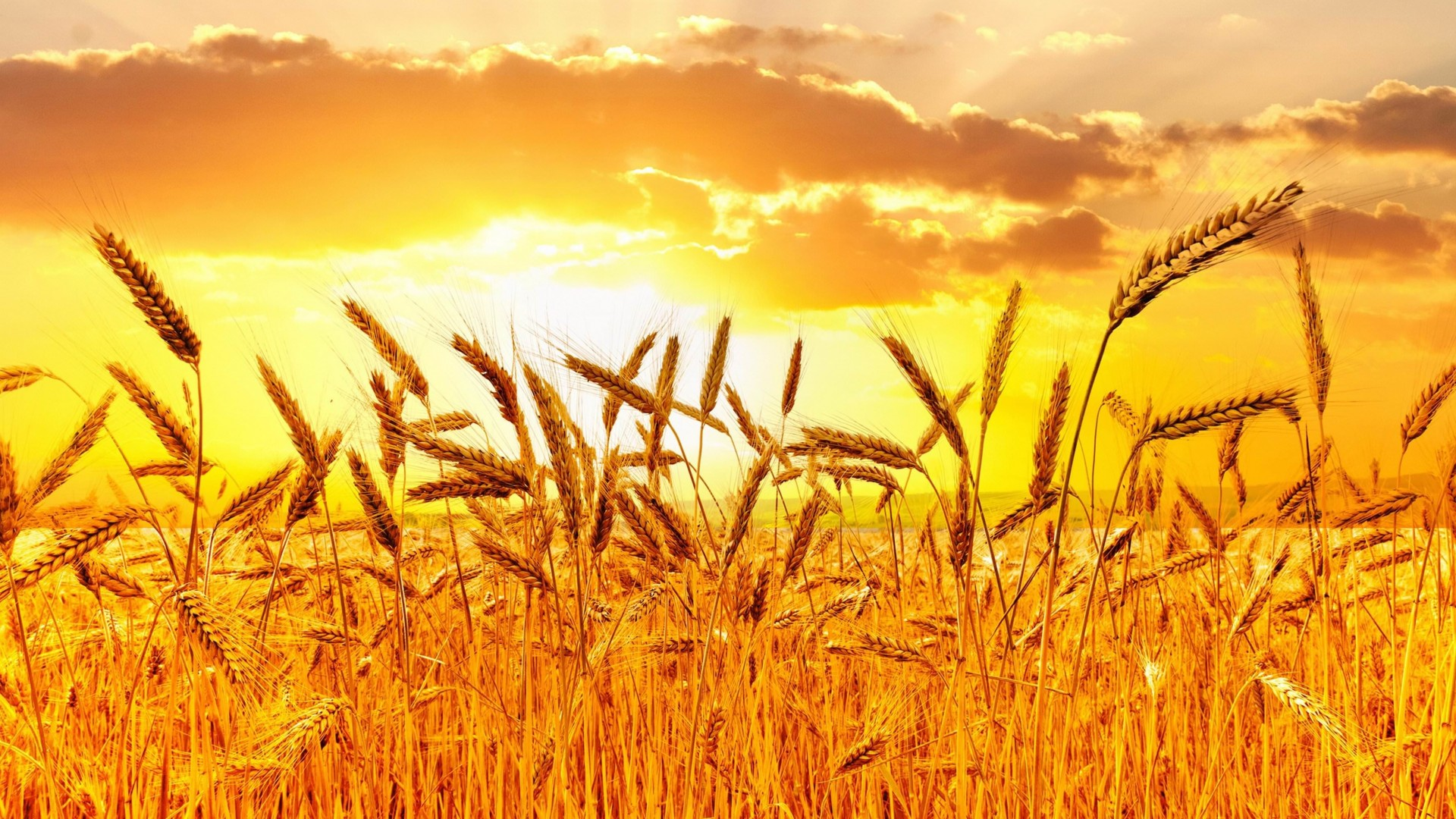 Golden Wheat Field At Sunset Wallpaper for Desktop 1920x1080