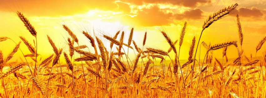 Golden Wheat Field At Sunset Wallpaper for Social Media Facebook Cover
