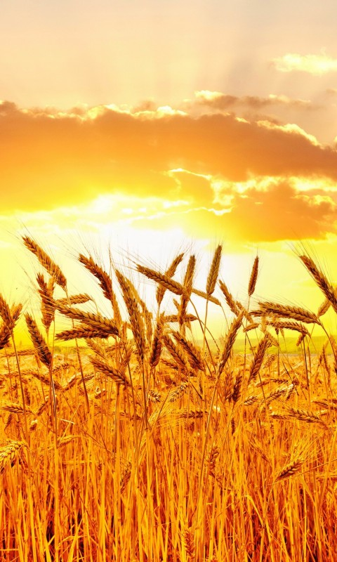 Golden Wheat Field At Sunset Wallpaper for SAMSUNG Galaxy S3 Mini
