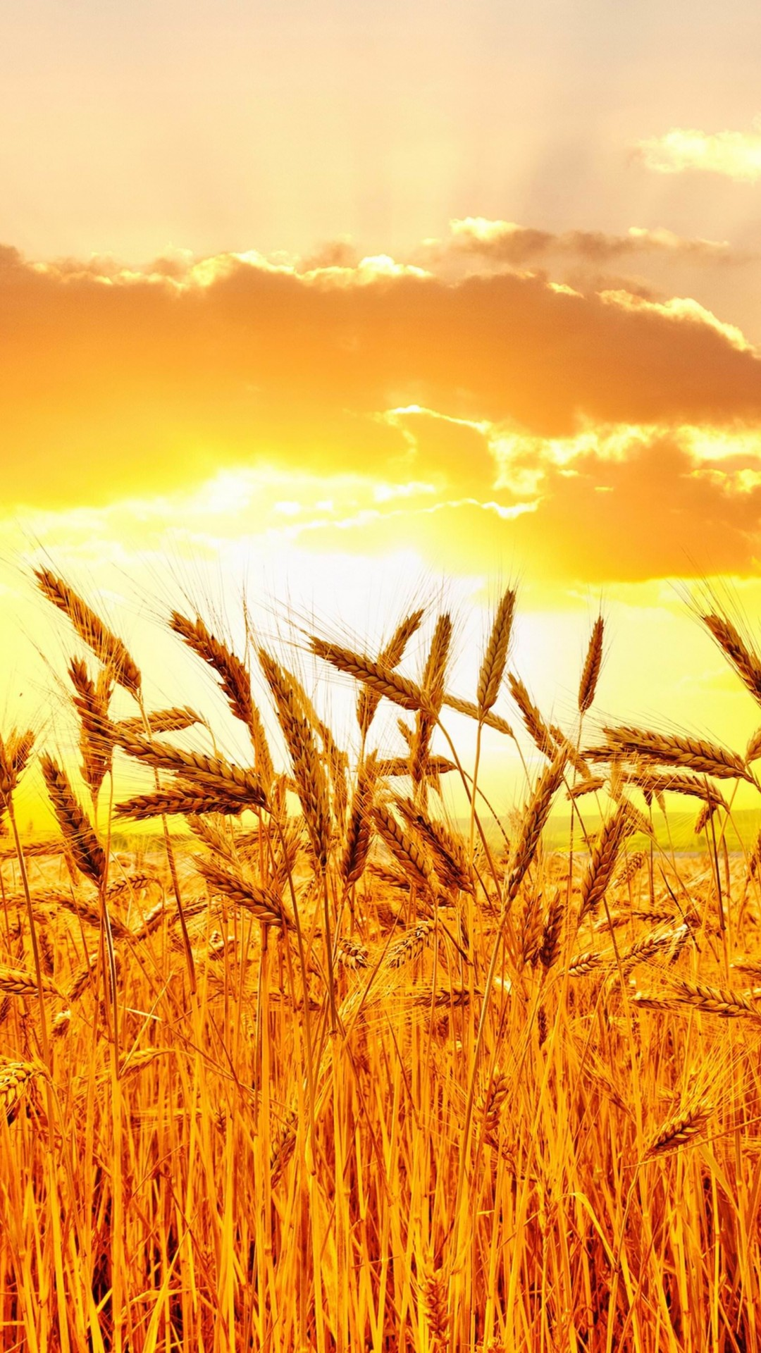 Golden Wheat Field At Sunset Wallpaper for HTC One