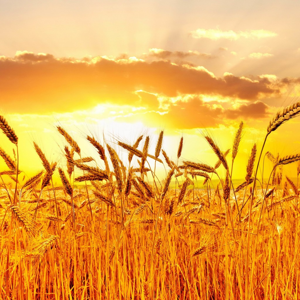 Golden Wheat Field At Sunset Wallpaper for Apple iPad 2