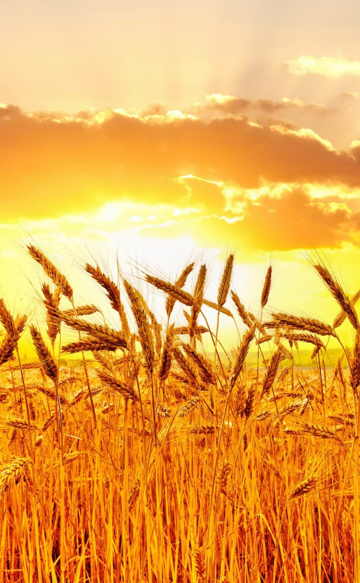 Golden Wheat Field At Sunset Wallpaper for Apple iPhone 4 / 4s