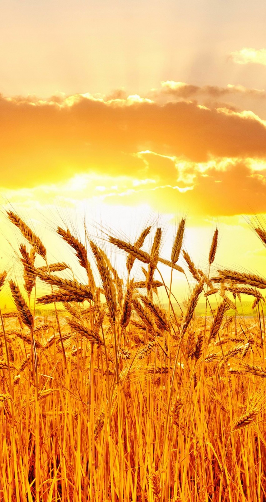 Golden Wheat Field At Sunset Wallpaper for Apple iPhone 6 / 6s