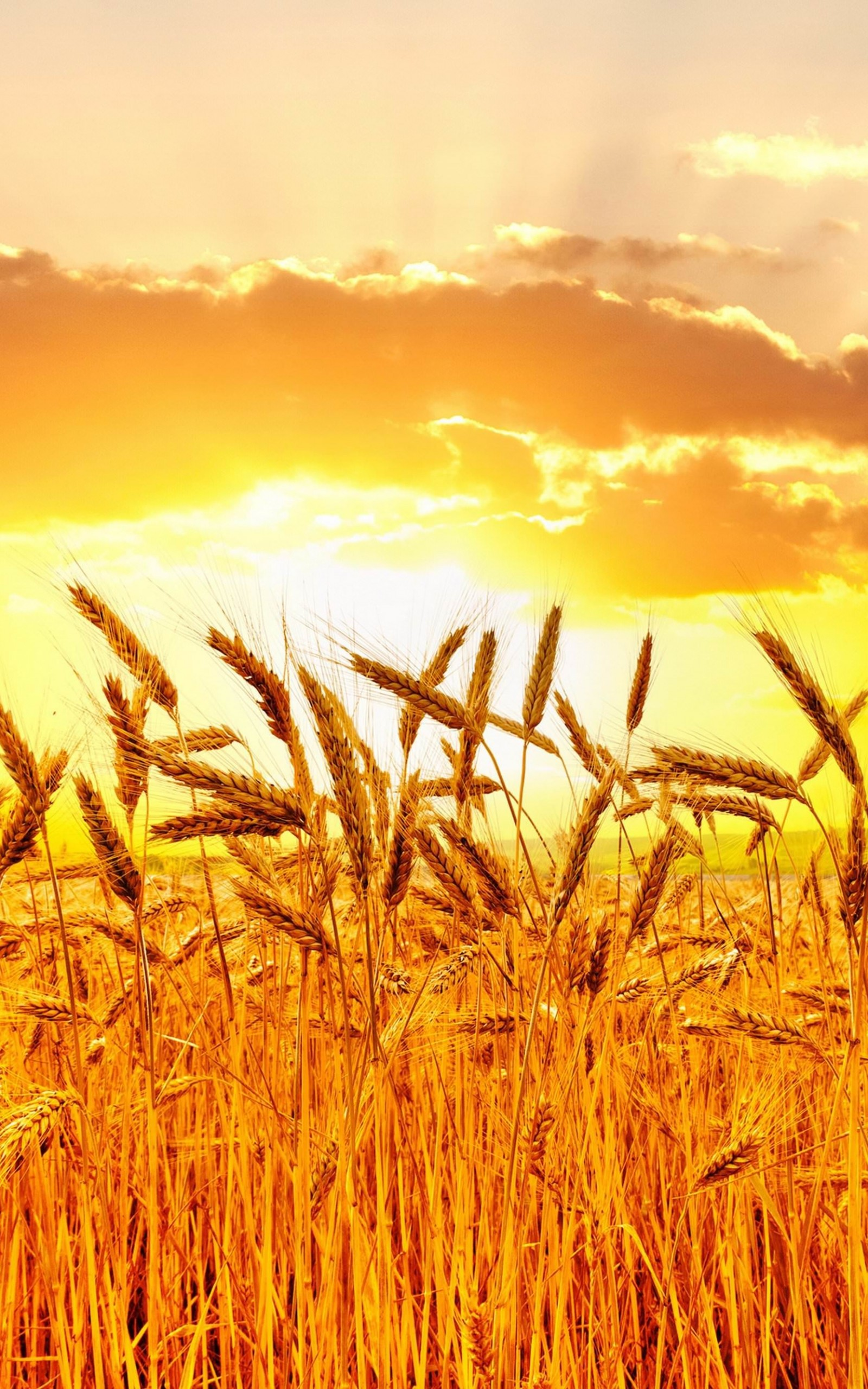 Golden Wheat Field At Sunset Wallpaper for Amazon Kindle Fire HDX 8.9