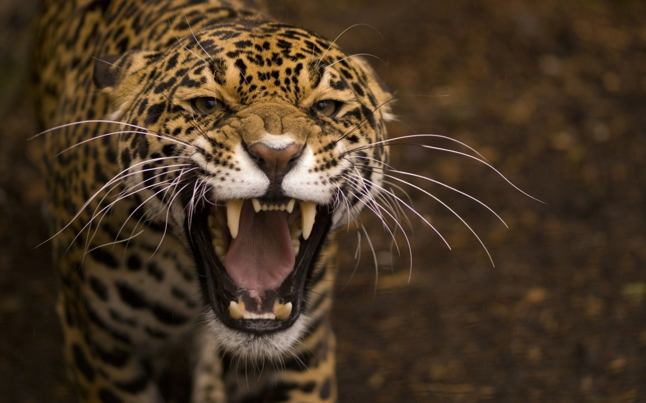 Growling Jaguar Wallpaper for Desktop 1280x800