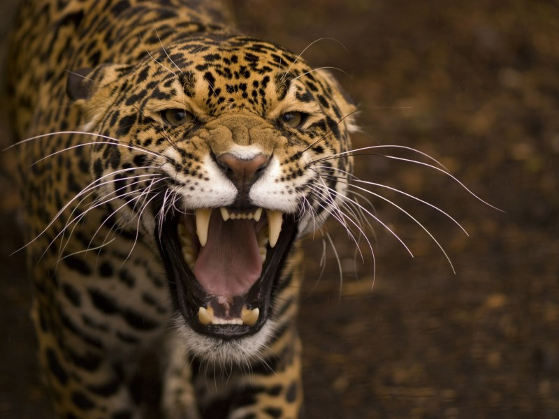Growling Jaguar Wallpaper for Desktop 800x600