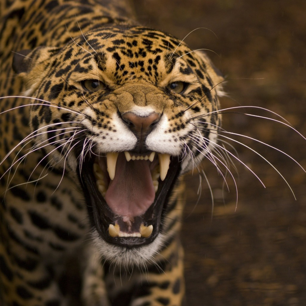 Growling Jaguar Wallpaper for Apple iPad 2