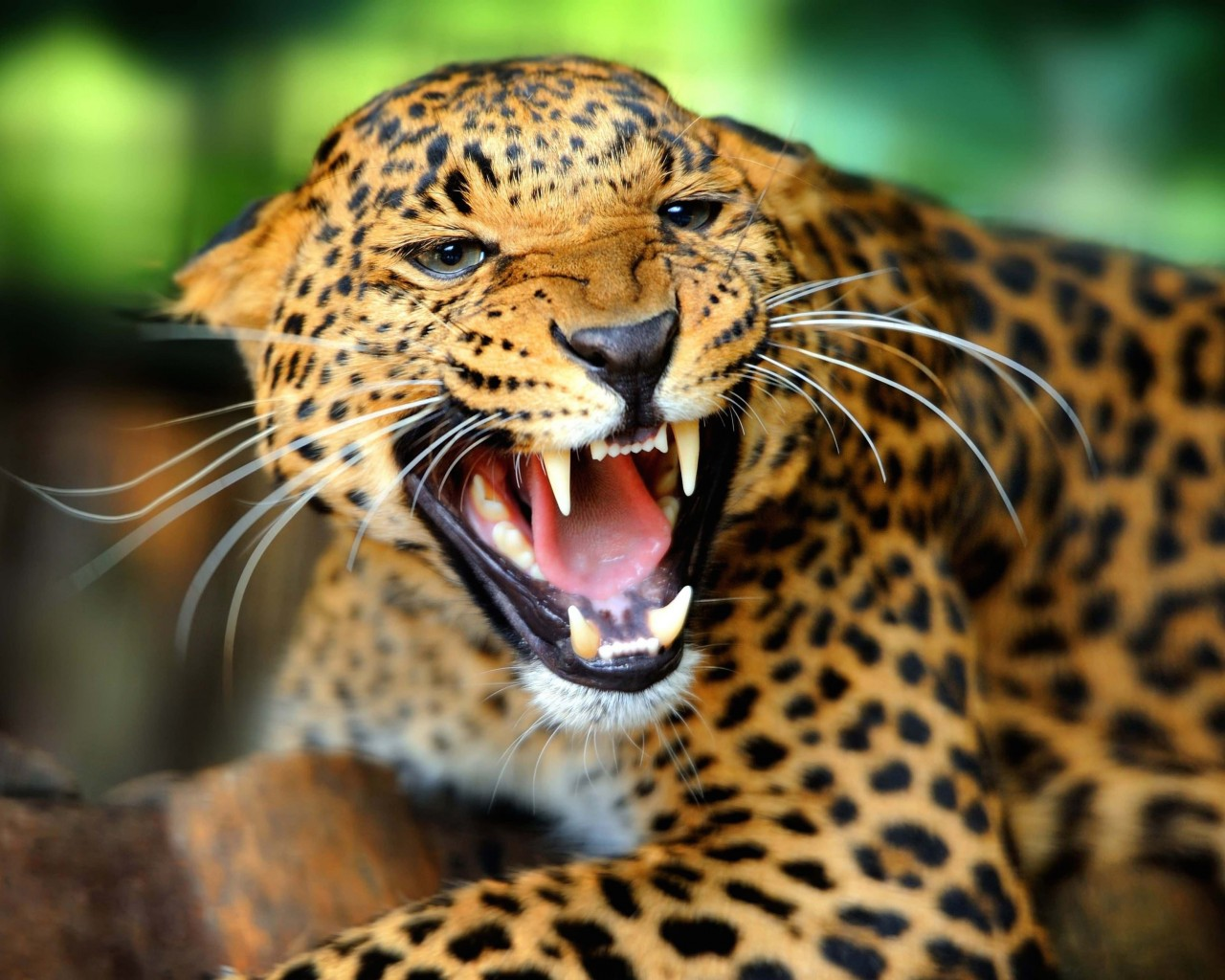 Growling Leopard Wallpaper for Desktop 1280x1024
