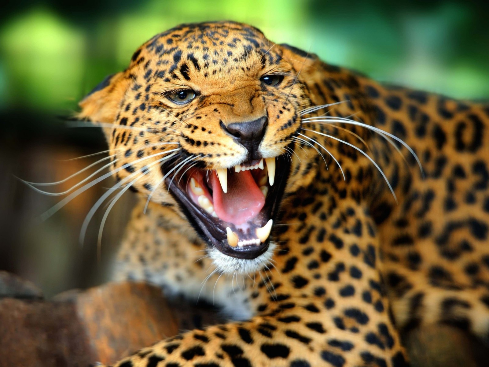 Growling Leopard Wallpaper for Desktop 1600x1200