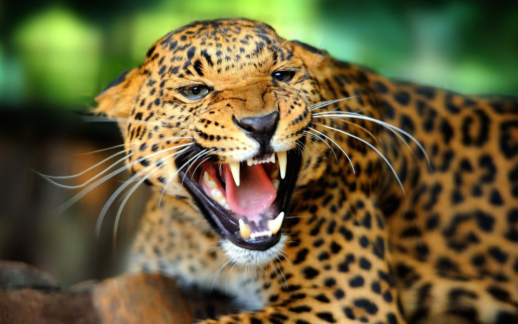 Growling Leopard Wallpaper for Desktop 1680x1050