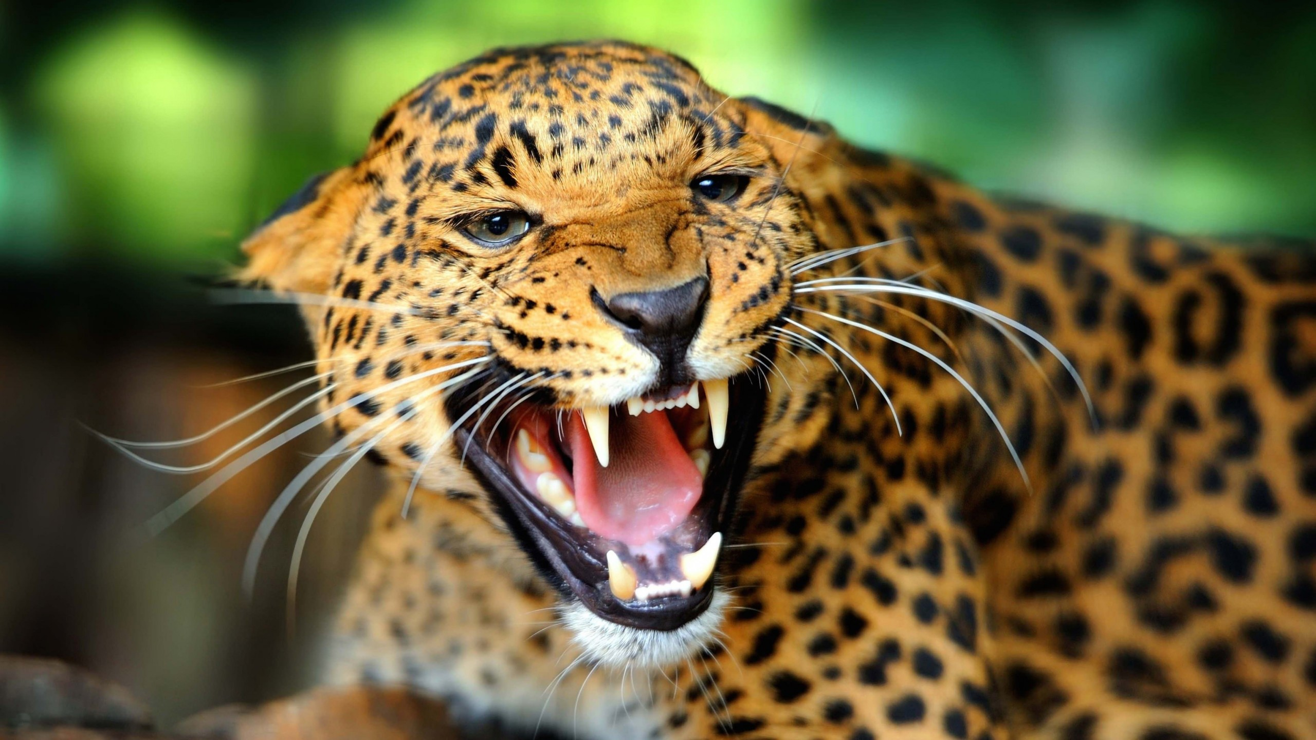 Growling Leopard Wallpaper for Desktop 2560x1440