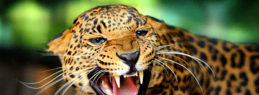 Growling Leopard Wallpaper for Social Media Facebook Cover