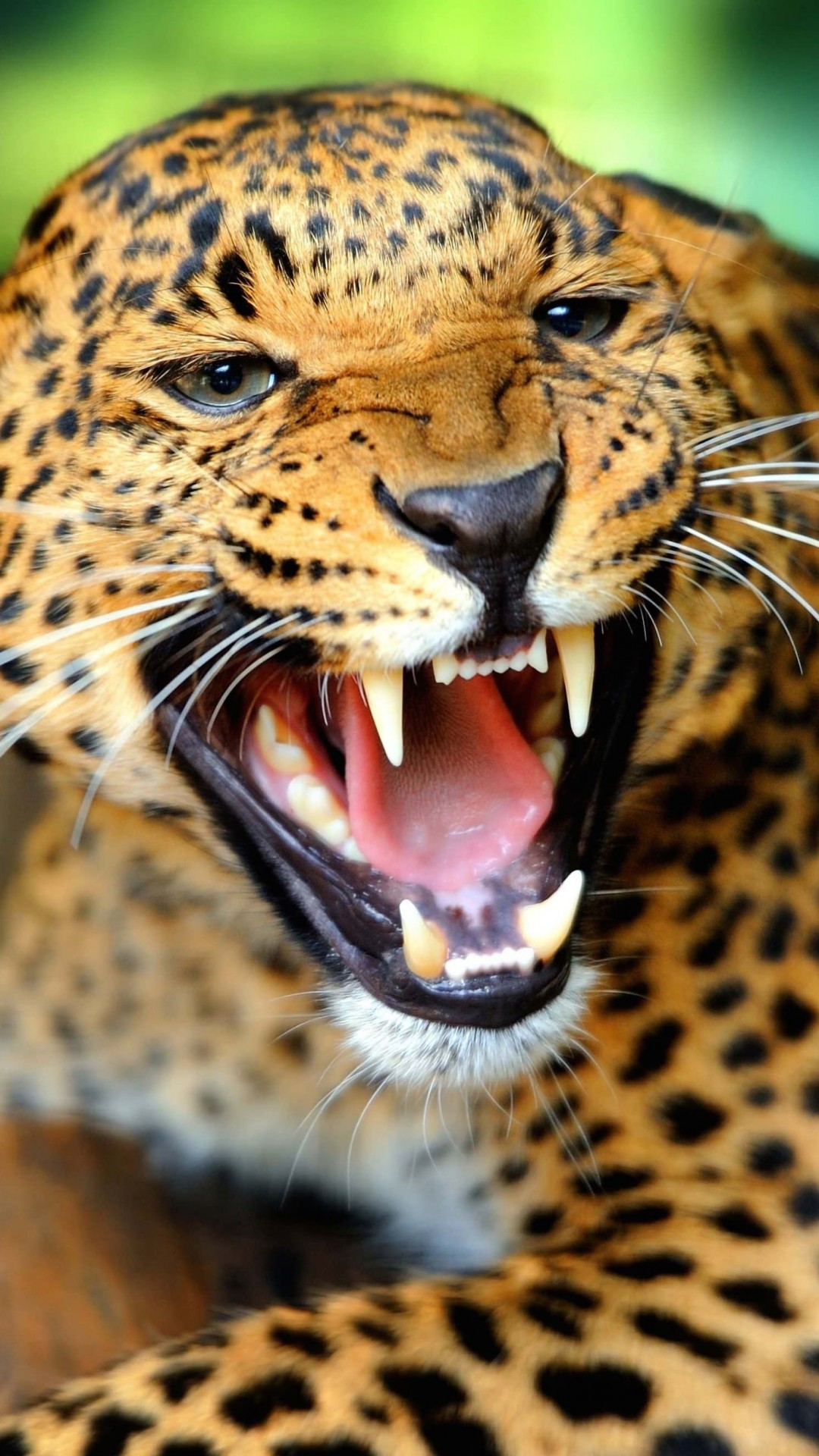 Growling Leopard Wallpaper for SAMSUNG Galaxy S5