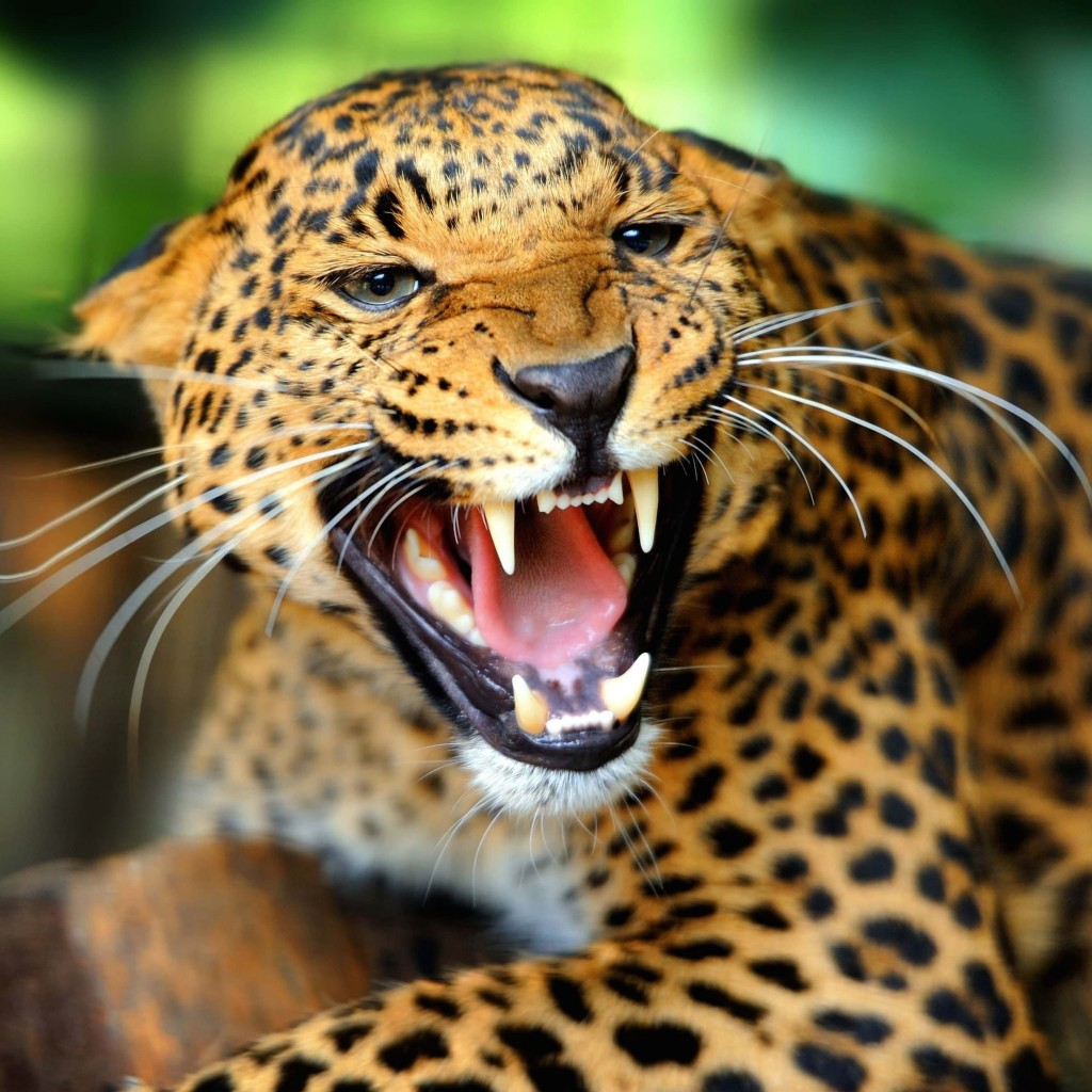 Growling Leopard Wallpaper for Apple iPad 2