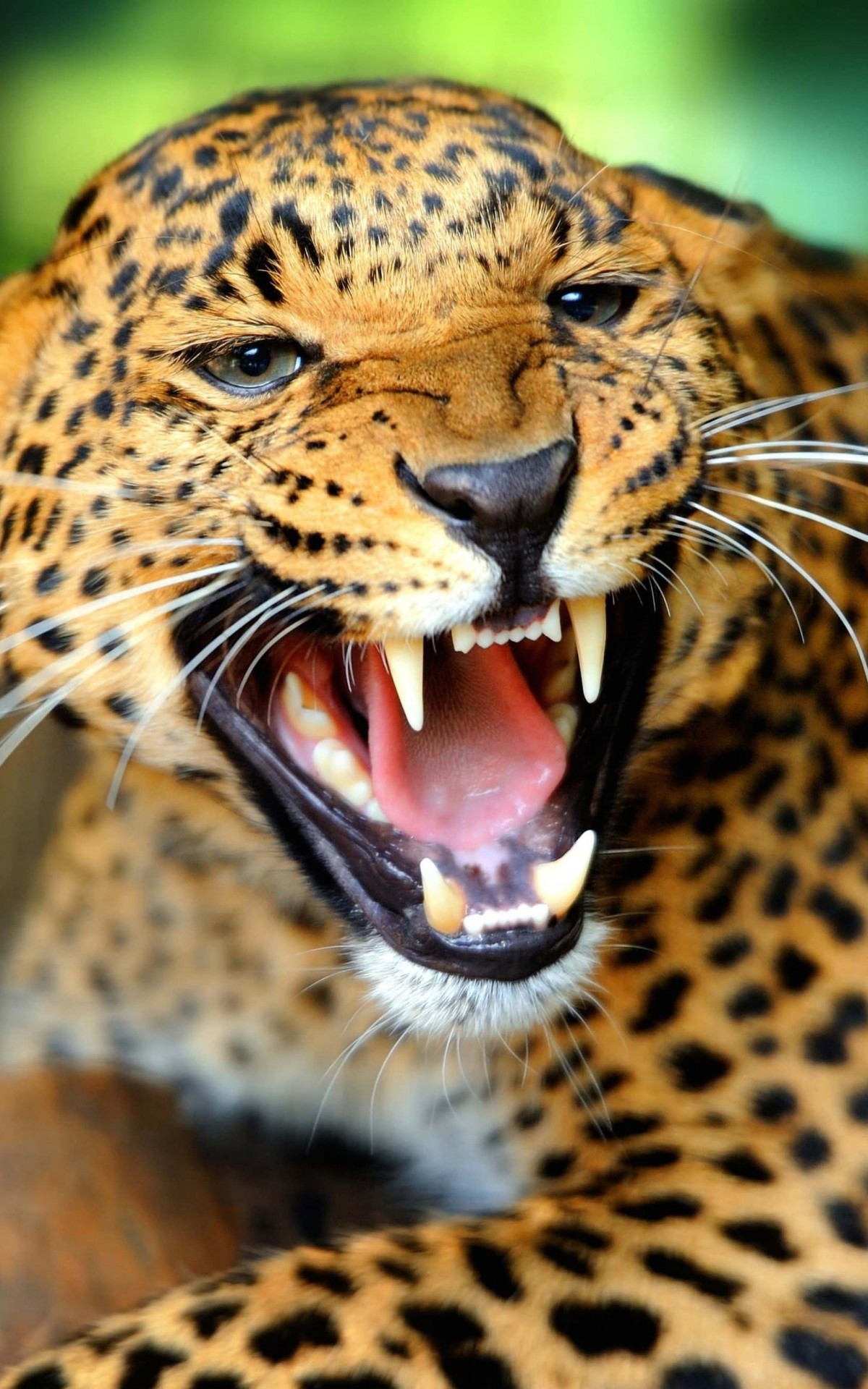 Growling Leopard Wallpaper for Amazon Kindle Fire HDX