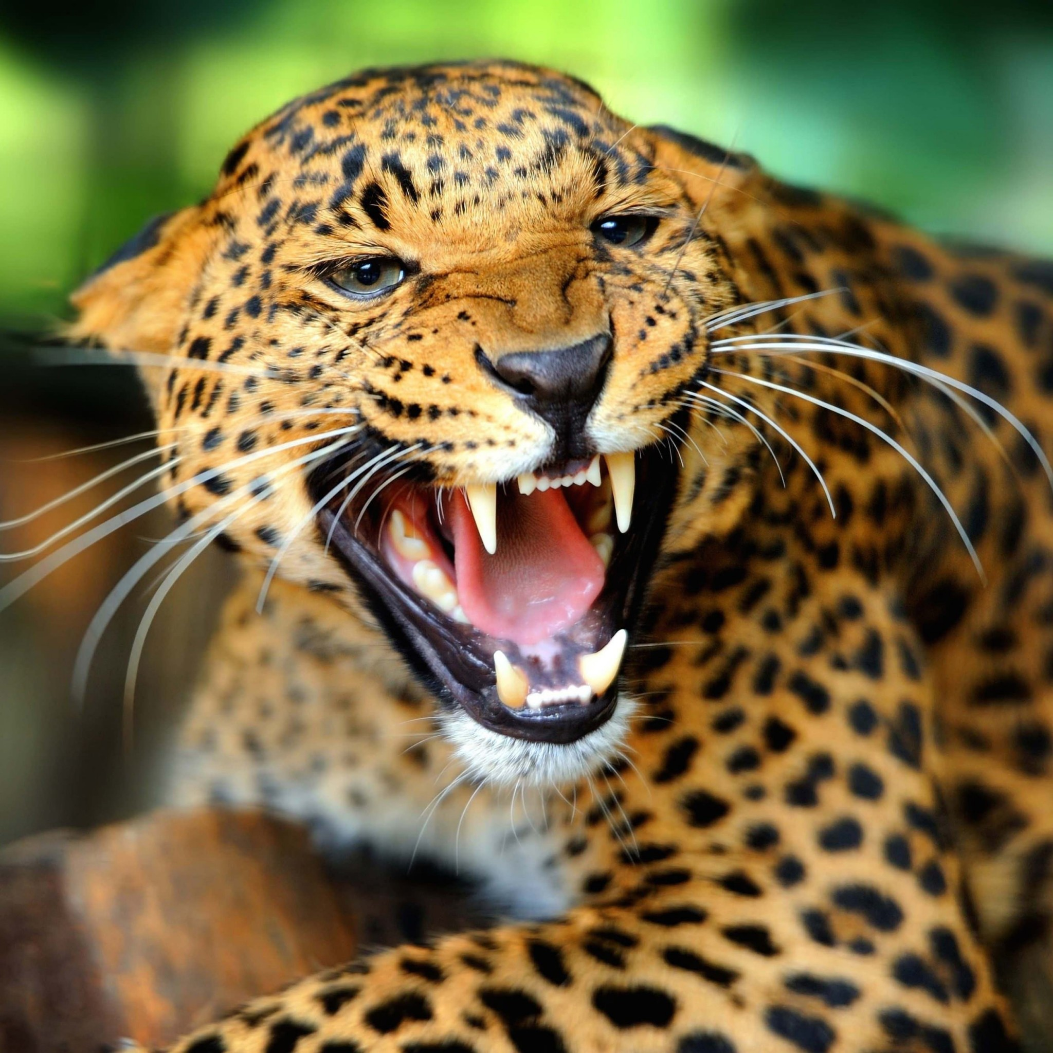 Growling Leopard Wallpaper for Google Nexus 9