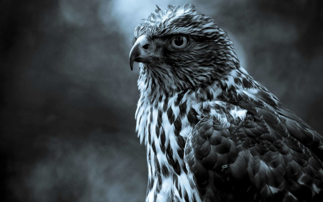 Hawk in monochrome Wallpaper for Desktop 1280x800
