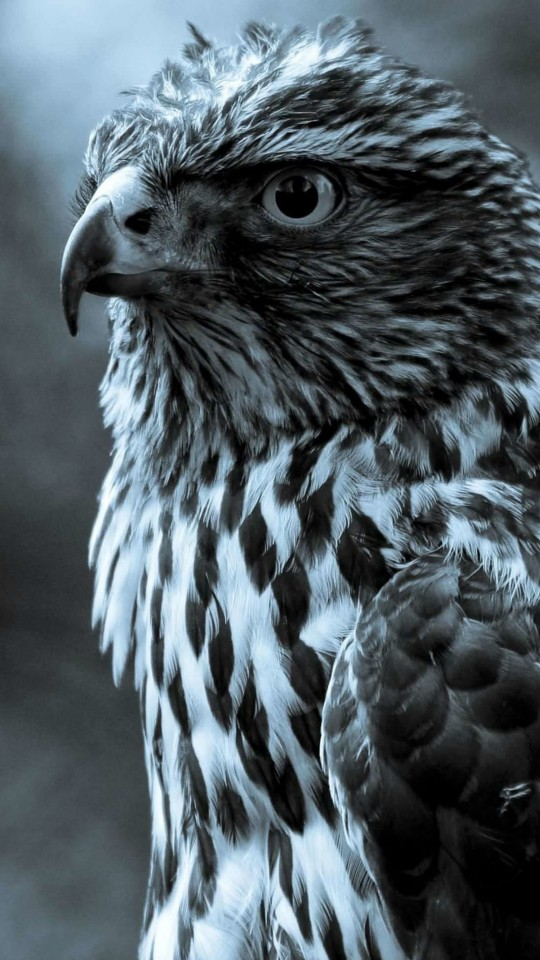 Hawk in monochrome Wallpaper for SAMSUNG Galaxy S4 Mini