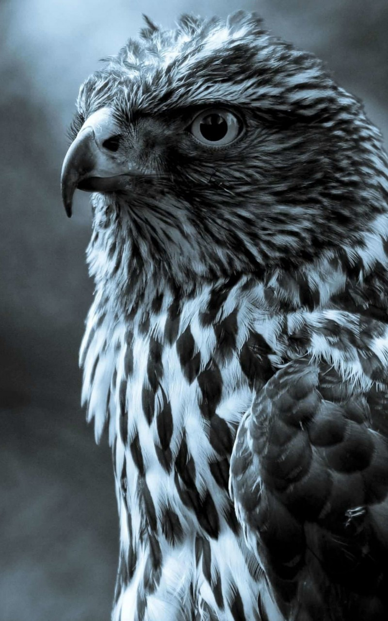 Hawk in monochrome Wallpaper for Amazon Kindle Fire HD