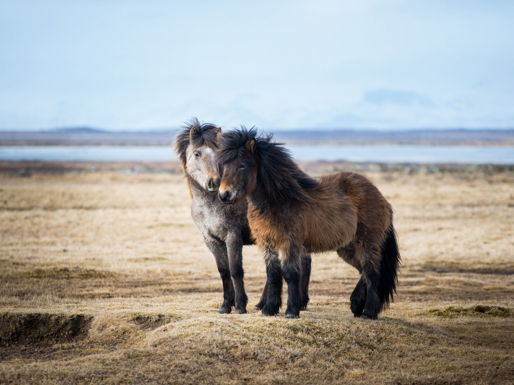 Icelandic Horses Wallpaper for Desktop 1024x768