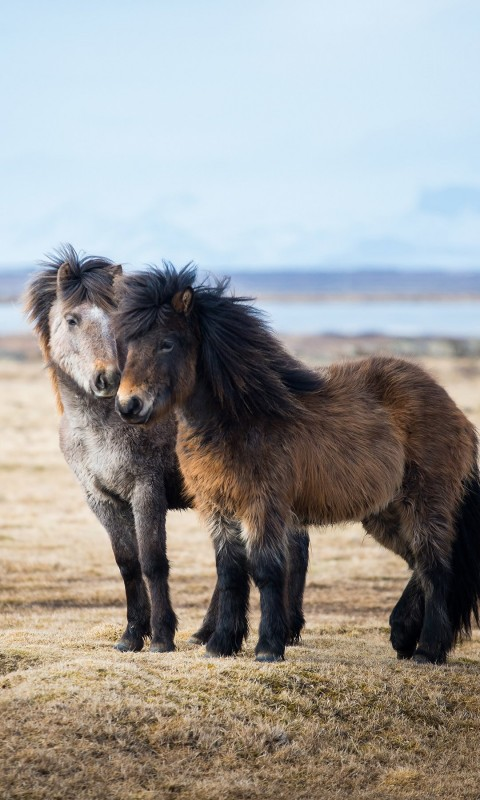 Icelandic Horses Wallpaper for SAMSUNG Galaxy S3 Mini