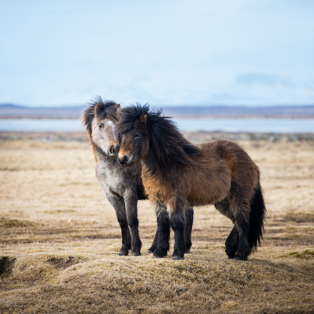 Icelandic Horses Wallpaper for Apple iPad 2