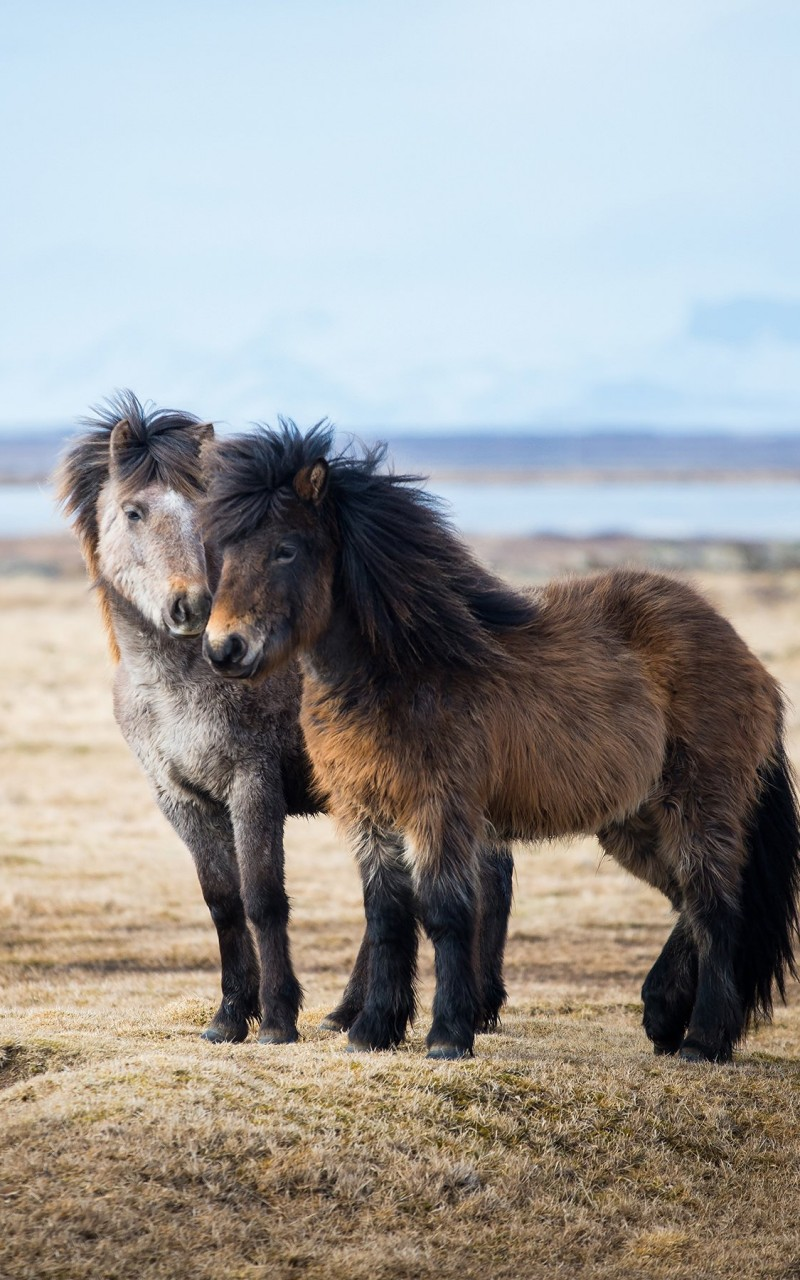 Icelandic Horses Wallpaper for Amazon Kindle Fire HD