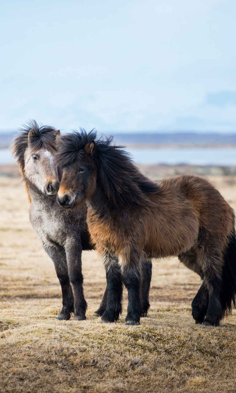 Icelandic Horses Wallpaper for LG Optimus G