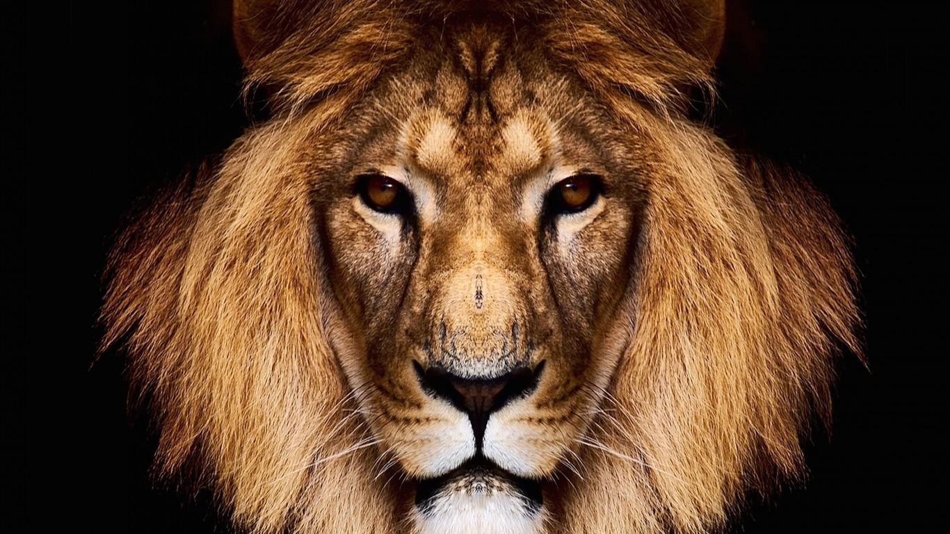 Wallpaper download lion - King Lion Hd Wallpaper For 1366 X 768 Hdwallpapers Net