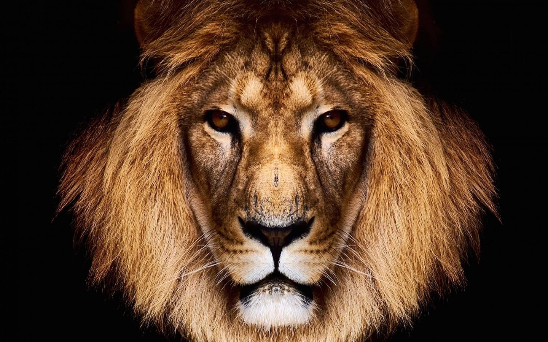 King Lion Hd Wallpaper For 1440 X 900 Hdwallpapersnet