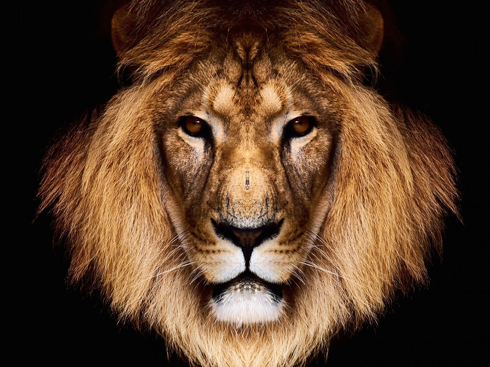 King Lion Wallpaper for Desktop 1600x1200