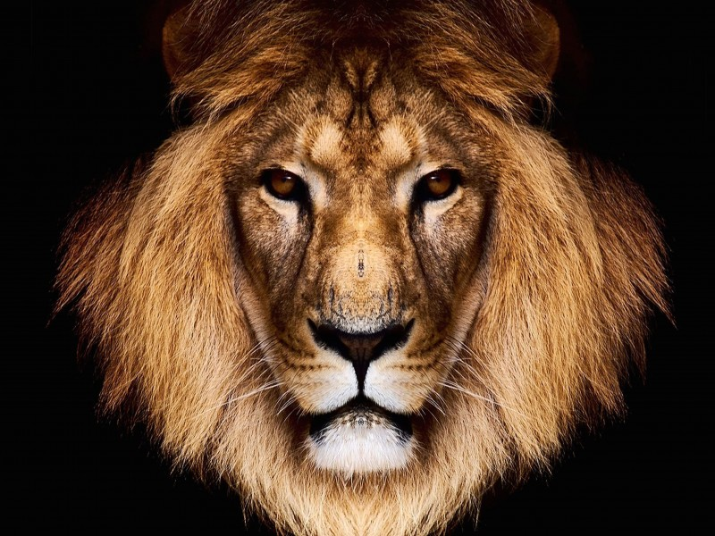 King Lion Wallpaper for Desktop 800x600