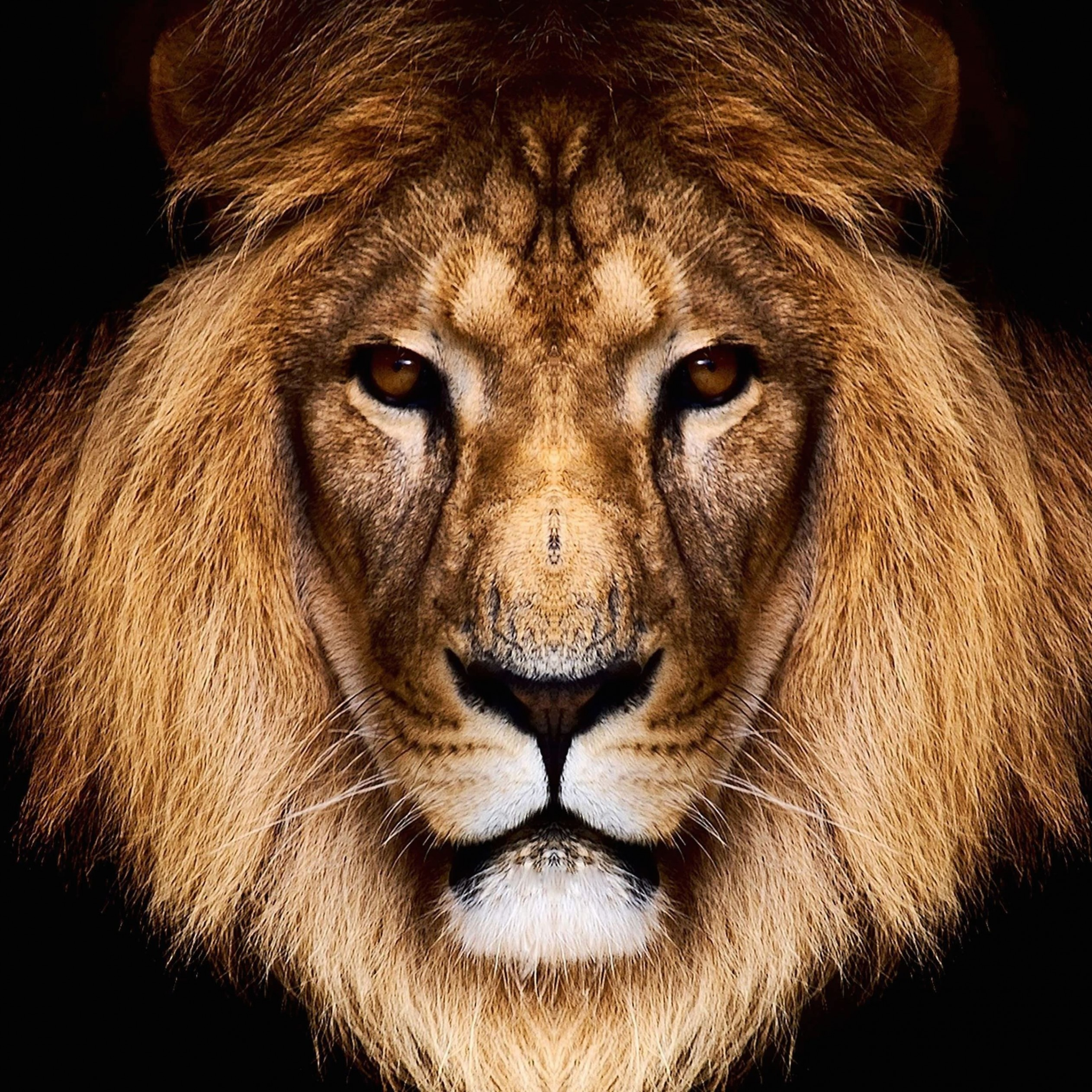 King Lion Wallpaper for Apple iPad Air