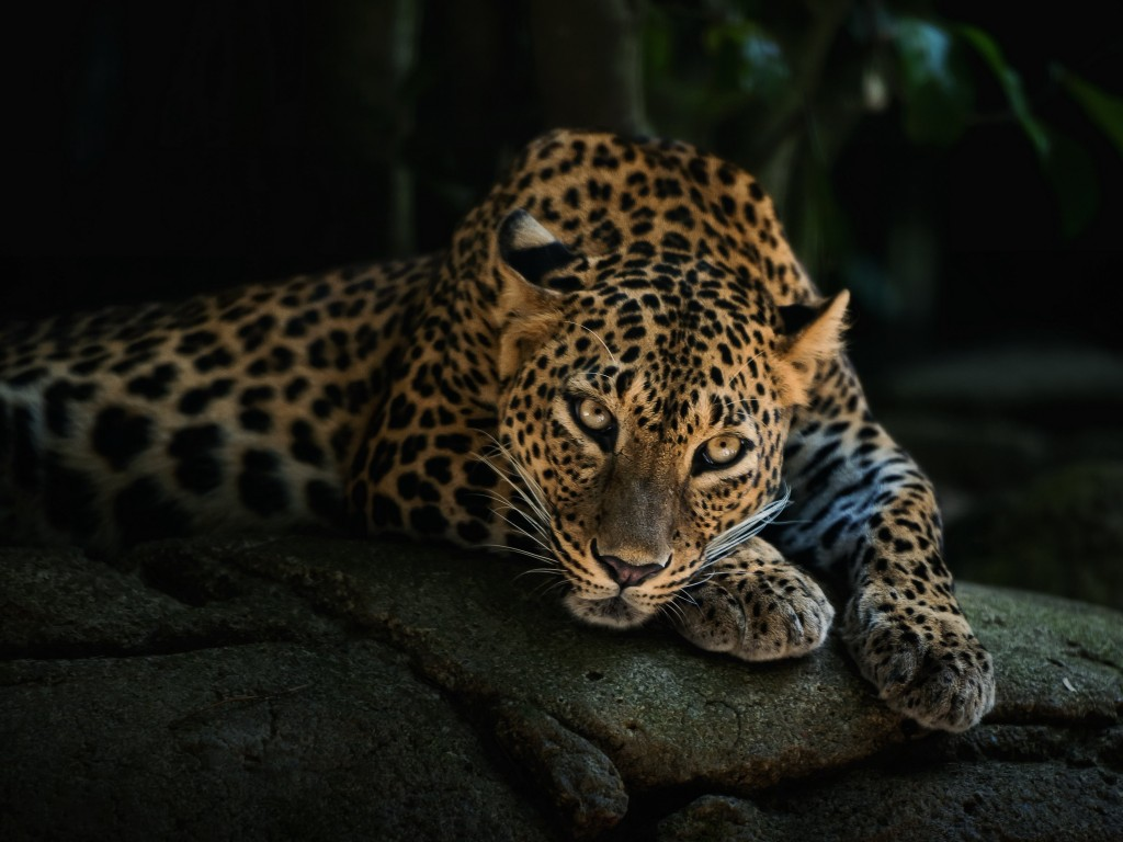 Leopard Lying On The Tree Wallpaper for Desktop 1024x768