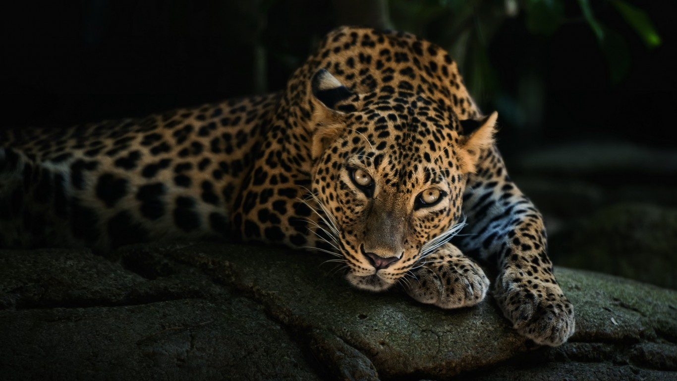 Leopard Lying On The Tree Wallpaper for Desktop 1366x768