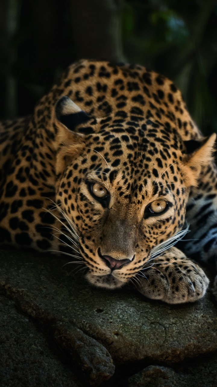 Leopard Lying On The Tree Wallpaper for SAMSUNG Galaxy Note 2