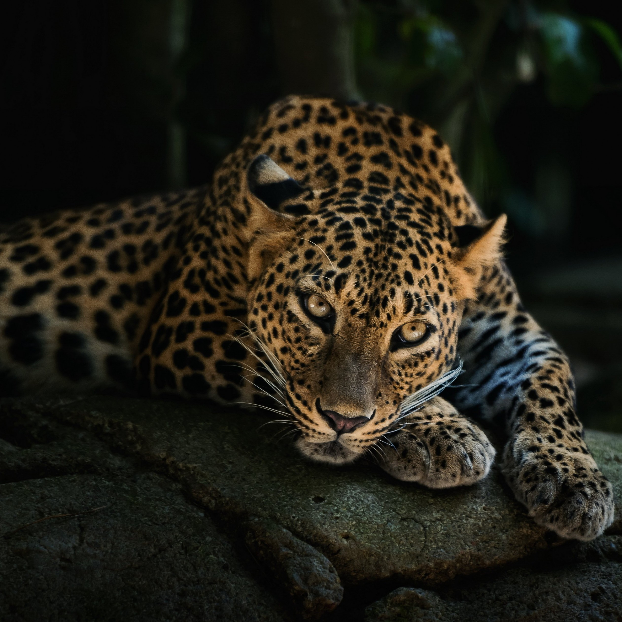 Leopard Lying On The Tree Wallpaper for Apple iPad mini 2
