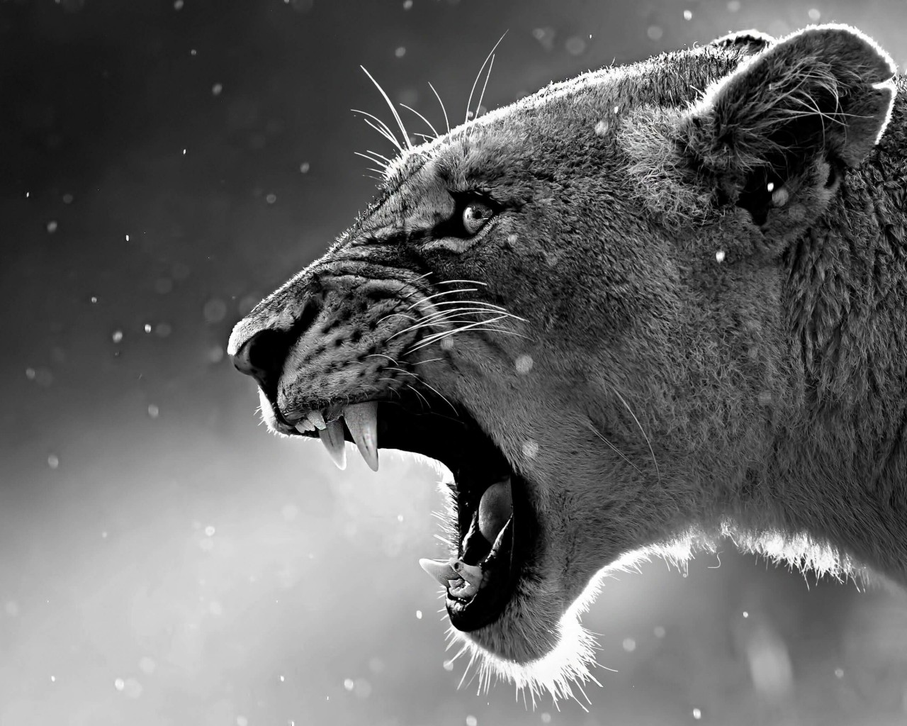 Lioness in Black & White Wallpaper for Desktop 1280x1024